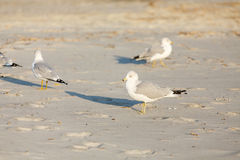 Seagulls Looking Royalty Free Stock Photography