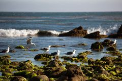 Seagulls in Los Angeles area. A view to the seagulls in Malibu, California, USA Royalty Free Stock Image