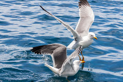 Seagulls on Los Gigantes Rocks Royalty Free Stock Image