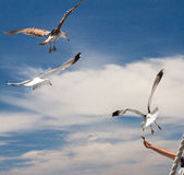Seagulls on Los Gigantes Rocks Royalty Free Stock Images