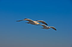 Seagulls in low flight over the sea near Thassos island Stock Photos