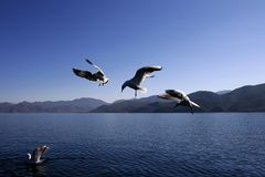 Seagulls on the lugu lake Stock Photography