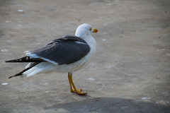 Seagulls of Madeira. The Seagulls on the south Coast of Madeira Royalty Free Stock Photo