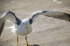 Seagulls of Madeira Royalty Free Stock Photography