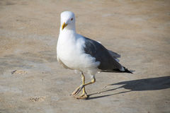 Seagulls of Madeira. The Seagulls on the south Coast of Madeira Royalty Free Stock Images