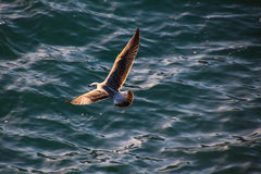 Seagulls of Madeira. The Seagulls on the south Coast of Madeira Royalty Free Stock Photography