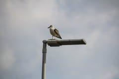 Seagulls madera Obraz Royalty Free