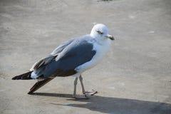 Seagulls madera Obrazy Royalty Free