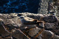 Seagulls madera Fotografia Stock