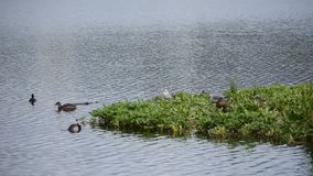 Seagulls and mallard ducks on small green patch out on pond water in summer stock video
