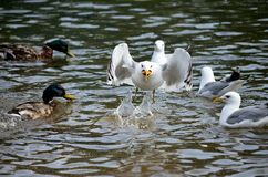 Seagulls and mallard ducks in summer pond looking for food and fighting Royalty Free Stock Photos