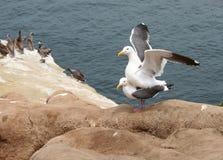 Seagulls mating 2 stock photography