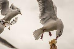 Seagulls - matningstid Royaltyfri Bild