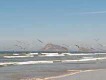 Seagulls in Mazatlan. Seagulls fly near the shore in Mazatlan, Mexico Stock Image