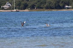 Seagulls  meandering around cape cod beach Royalty Free Stock Images