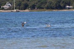 Seagulls meandering wokoło przylądka dorsza plaży obrazy royalty free
