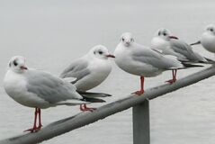 Seagulls Meeting Royalty Free Stock Image