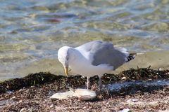 seagulls mellanmåltid arkivfoton