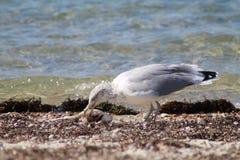 seagulls mellanmåltid fotografering för bildbyråer
