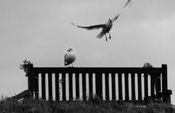 Seagulls on memorial seats at Tynemouth Haven, United Kingdom. On a cold winter morning. Shot in black and white Stock Images