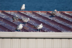 Seagulls and a messy roof Stock Image