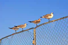 Seagulls on a metal fence at the beach Stock Images
