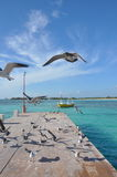 Seagulls in Mexico Stock Image