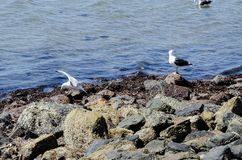 Seagulls in the middle of some rocks Stock Photos