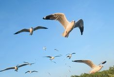 Seagulls migrate from Siberia, Mongolia, Tibet and China to Bang Pu, Samut Prakan Thailand. Bang Po Resort It is a popular holiday destination with one day or stock photo