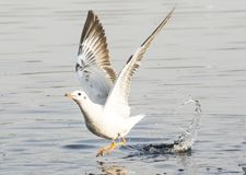 Seagulls !! Royalty Free Stock Photography