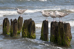 Seagulls on the mole during windy weather Royalty Free Stock Photography