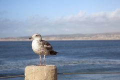 Seagulls in Monterrey bay. Un California Royalty Free Stock Image