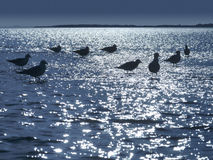 Seagulls in moonlight. Seagulls in shallow water at night in moonlight Royalty Free Stock Photo