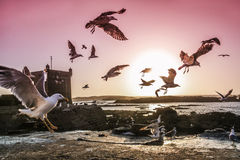 Seagulls in Morocco royalty free stock images