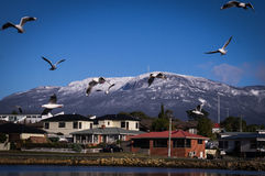 Seagulls with Mount Wellington, Tasmania in background. Seagulls with Mount Wellington in background from Lindisfarne near Hobart, Tasmania Stock Photo