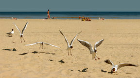 Seagulls movement. Six photos generated in one picture Stock Photos