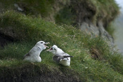 Seagulls on Mykines Royalty Free Stock Images
