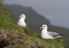 Seagulls on Mykines Royalty Free Stock Photos