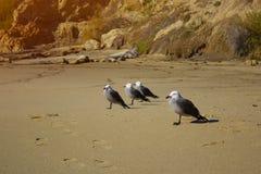 Seagulls na piasku na brzeg cztery Seagulls na piasku Obrazy Royalty Free