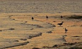 Seagulls na plaży przy zmierzchem Obrazy Royalty Free