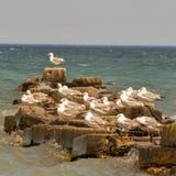 Seagulls na skałach przy Atwater parkiem fotografia stock