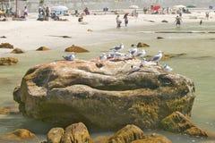 Seagulls na skale przy St James, Fałszywa zatoka na oceanie indyjskim, na zewnątrz Kapsztad, Południowa Afryka Zdjęcie Stock