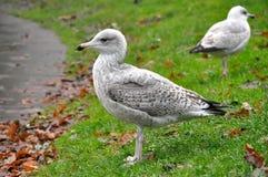 Seagulls na trawie zdjęcie stock