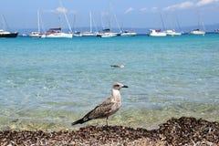 Seagulls na wyspie Porquerolles w Francja zdjęcie stock