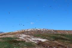 Seagulls nad jawnym wysypiskiem fotografia royalty free