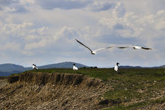Seagulls. Near the beach of Son-Kul lake Stock Photography