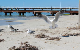 Seagulls near Busselton jetty West Australia Stock Photography