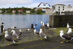 Seagulls near the center of Reykjavik. Seagulls near a pond in the center of Reykjavik Stock Photos