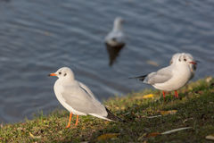 Seagulls near the shore Royalty Free Stock Photography