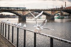 Seagulls near the Vltava river and Palacky bridge in Prague, Czech Republic stock photo